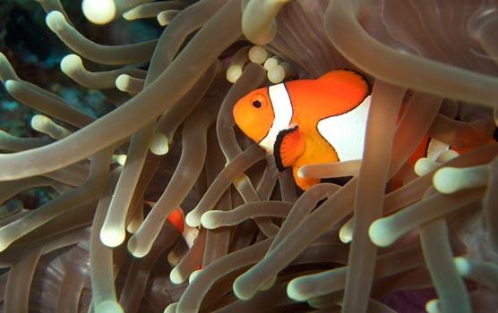 Clown fish. Foto: Flickr / Per Edin